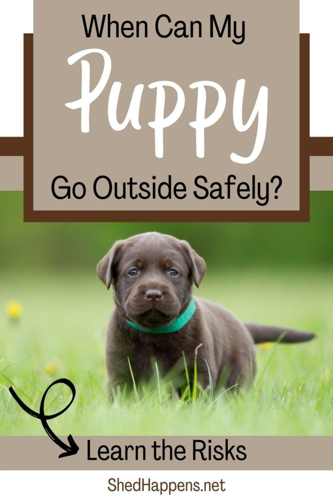 Small dark grey puppy wearing a green collar standing in the grass. Text asks: When can my puppy go outside safely? Learn the risks.