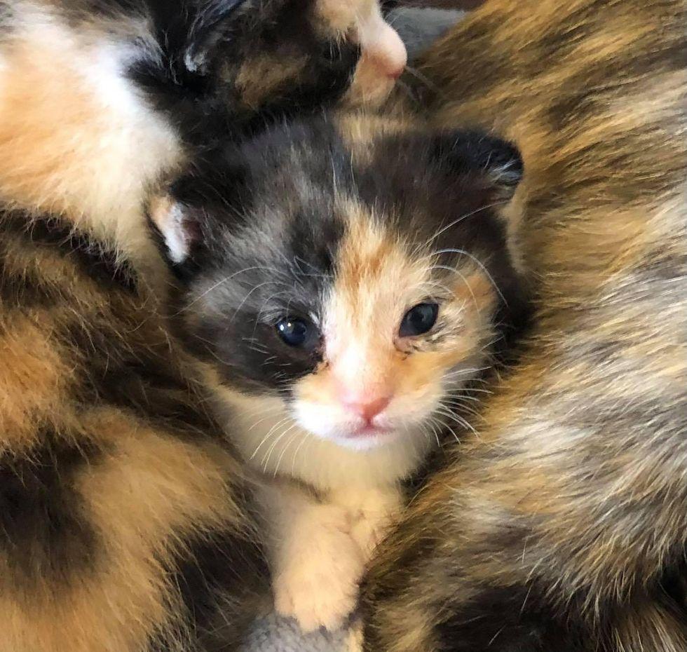 calico kitten baby