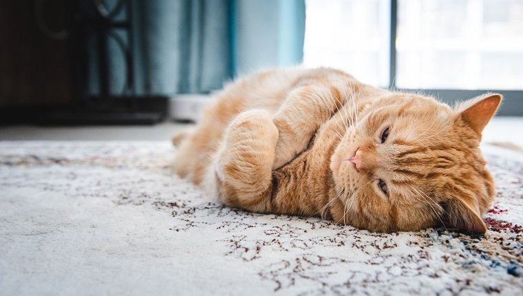 Fat ginger Cat lying down on carpet with annoyed expression