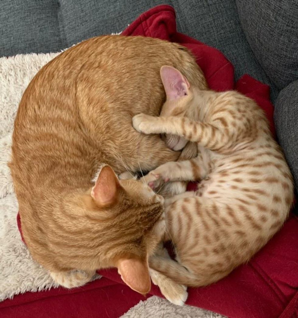 cuddle puddle ginger cats
