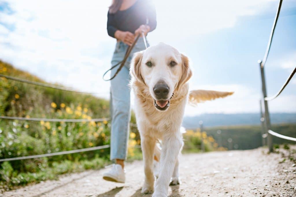 golden retriever on a walk in a california park