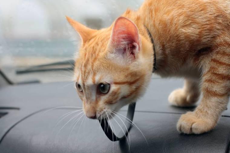 cat-in-car