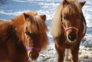 Two Miniature Horses in the snow