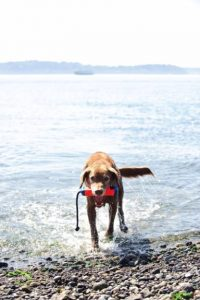 dog running out of water onto rocky beach with Chuckit Amphibious Bumper Fetch and Float Toy in its mouth hanging sideways with rope of bumper hanging down