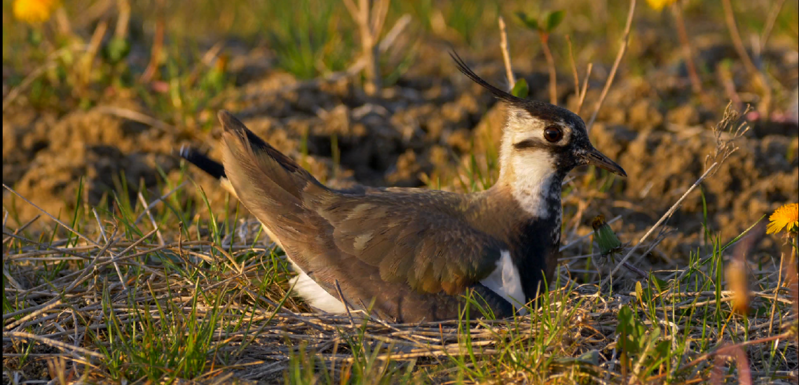 Northern Lapwing (Vanellus vanellus). Europe's farmland birds have declined by 57% in just 40 years.