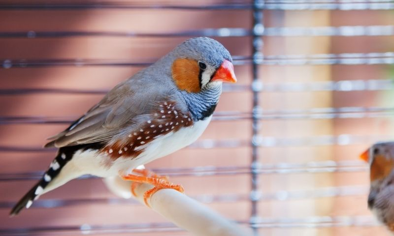 Finch sitting on a wooden perch inside of a cage.