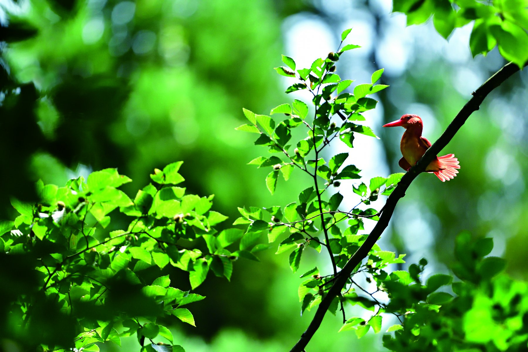 While the Common Kingfisher lives in an open river environment, the Ruddy Kingfisher prefers rivers surrounded by forests © HIH Princess Takamado