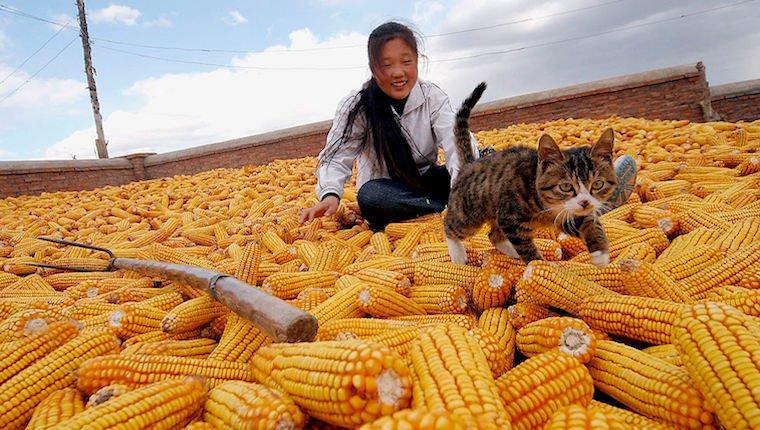 Cat and corn