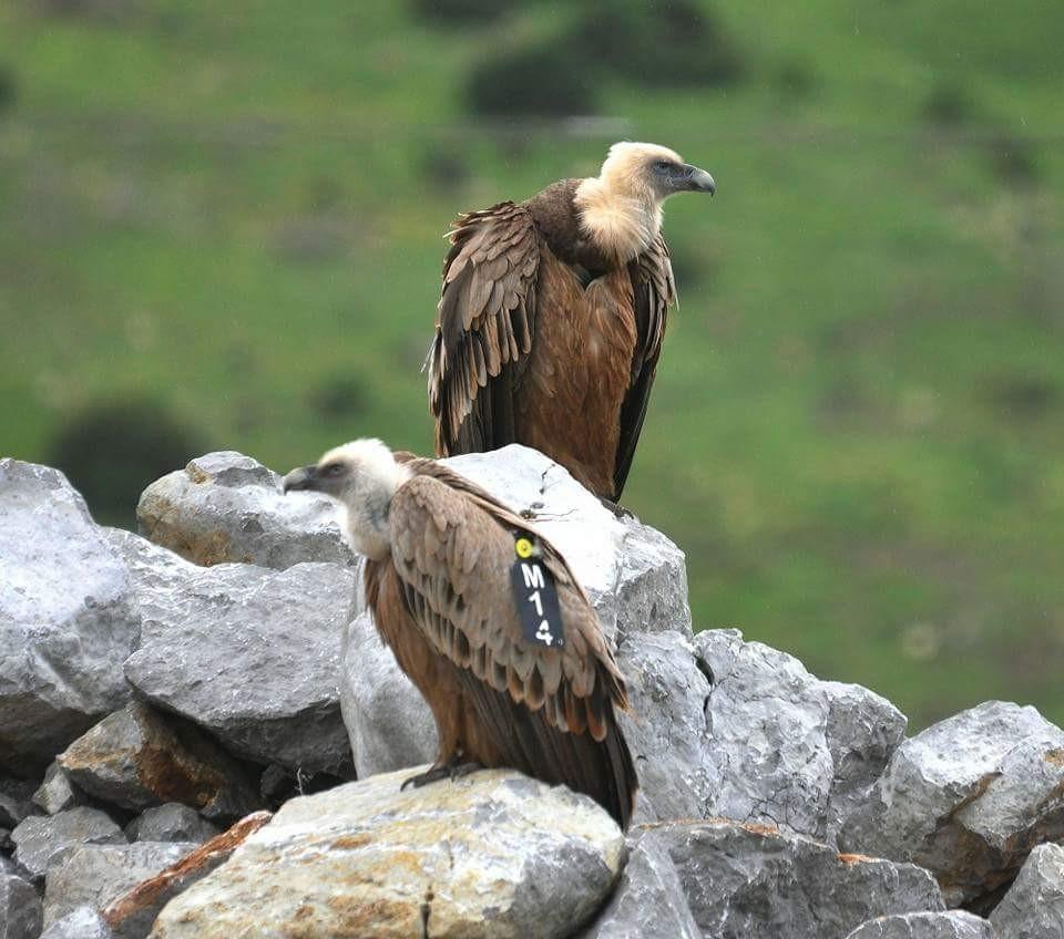 Two Griffon Vultures from the reintroduction program ©  Rachid Elkhamlichi