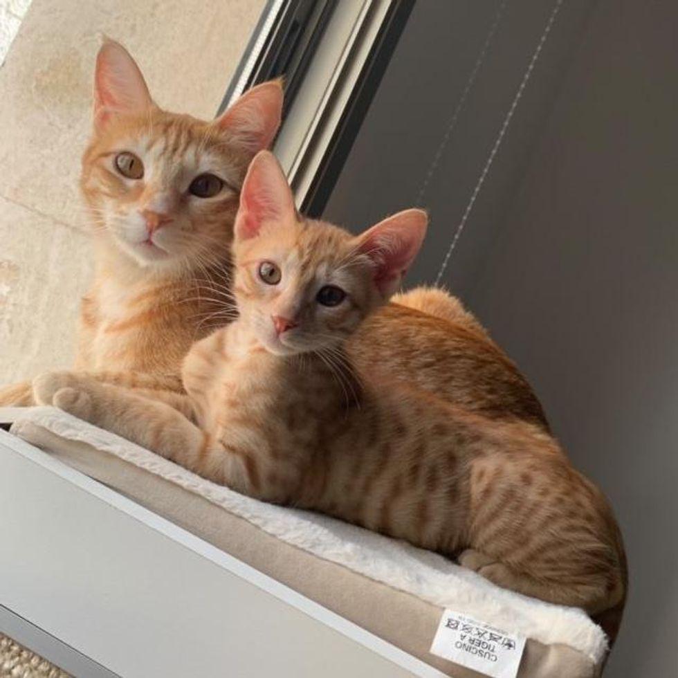orange tabby cat kitten, ginger cats look alike