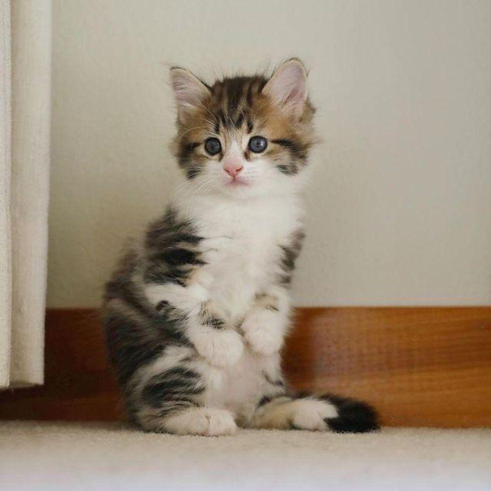 twisted legs, kangaroo cat