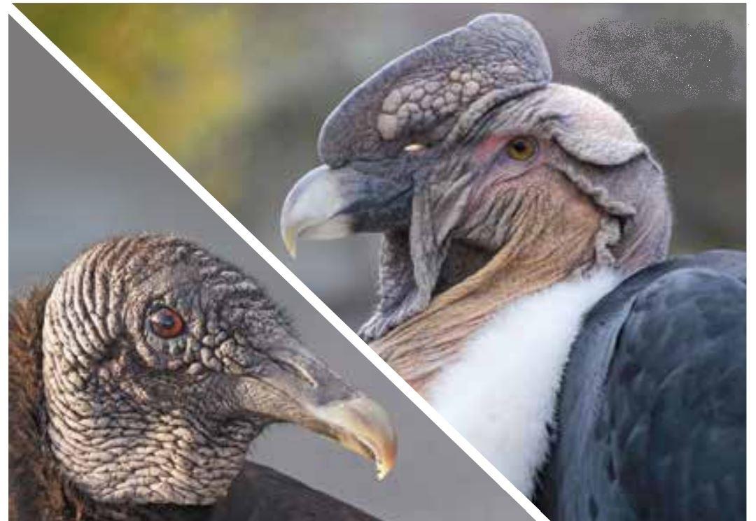 American Black Vulture (L) © Judy Gallagher / Flickr, Andean Condor (R) © Reisegrafch / Shutterstock