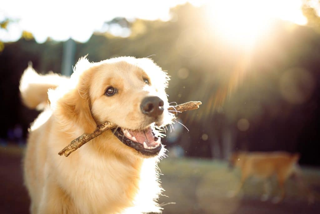 golden retriever running with a stick