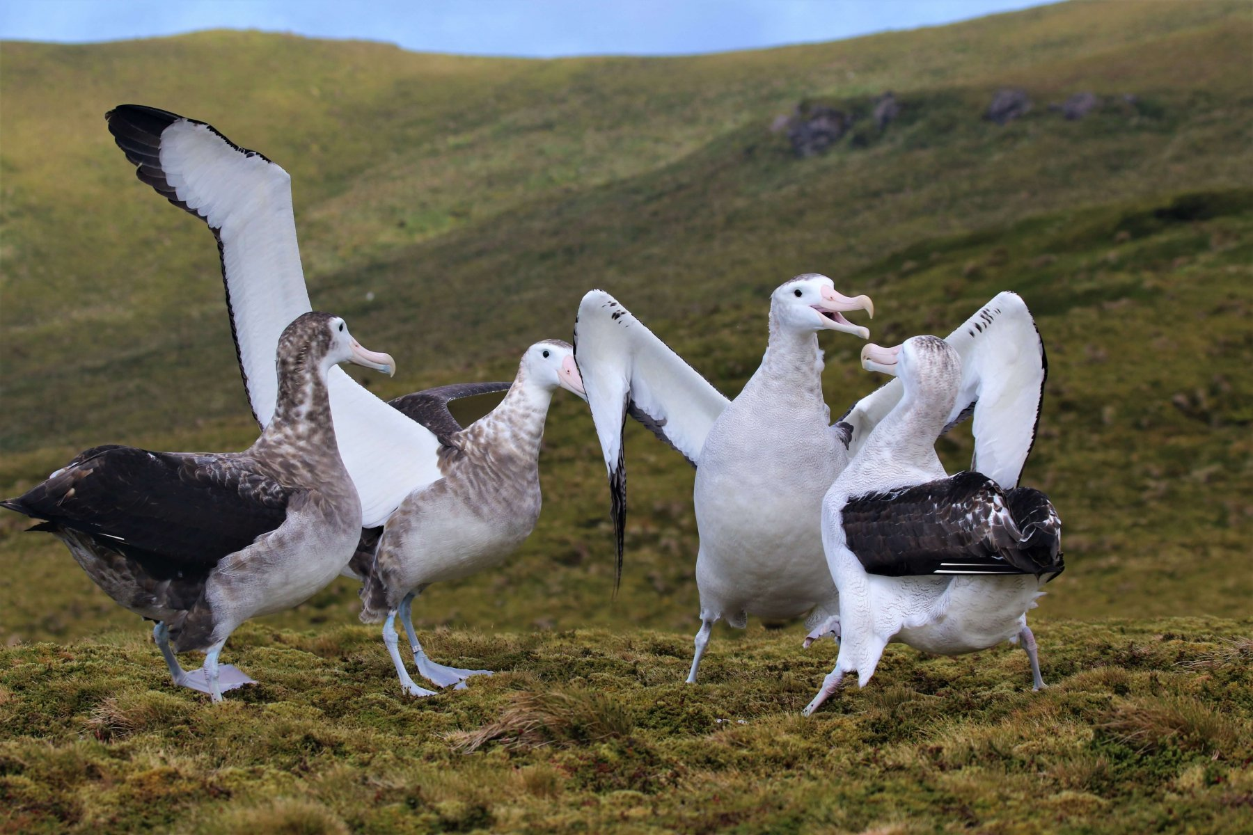 The Tristan Albatross has a flamboyant courtship display © Andy Schofield