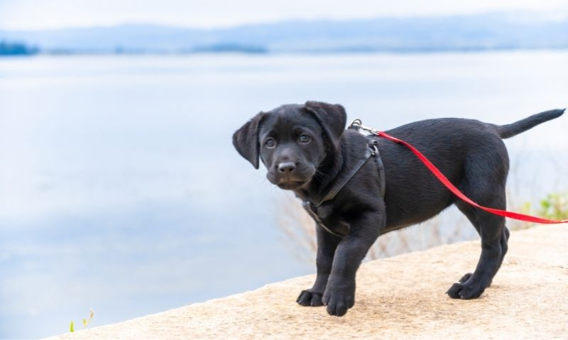 Black lab standing outdoors on a stone surface wearing a black harness and red leash