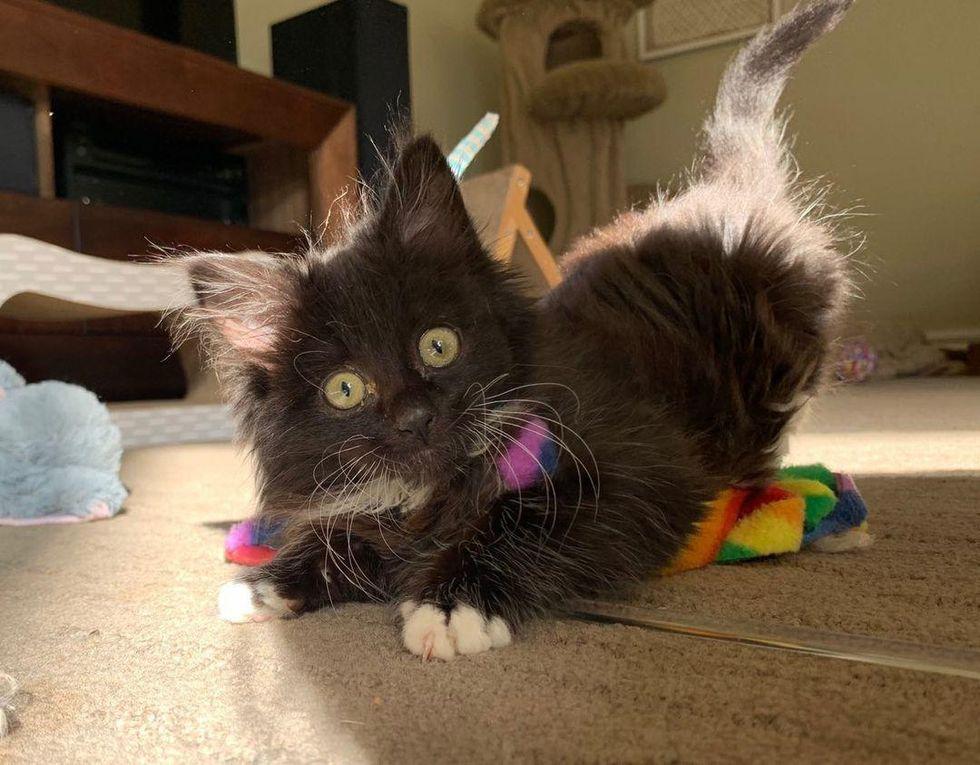 playful tuxedo kitten