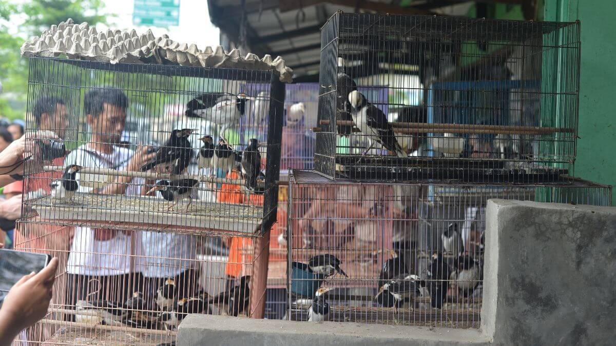 Javan Pied Starlings at a local bird market © Yogyakarta Ferry Hasudungan / Burung Indonesia