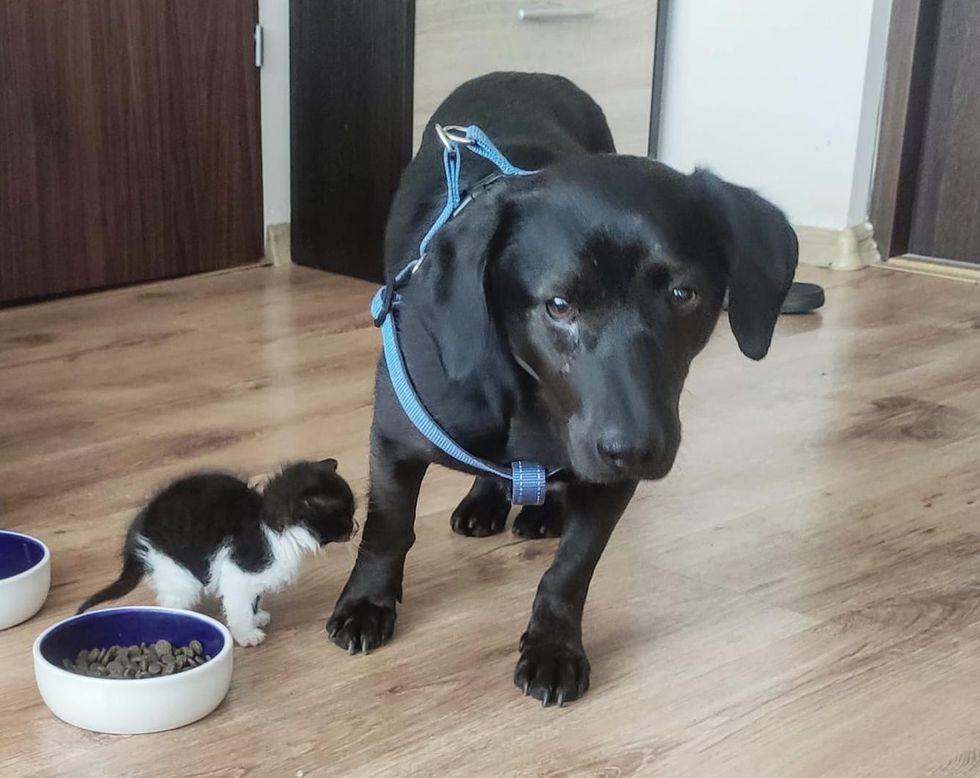tiny kitten big dog