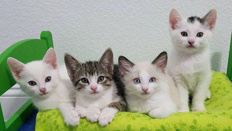 kitten quartet, kittens in tiny bed