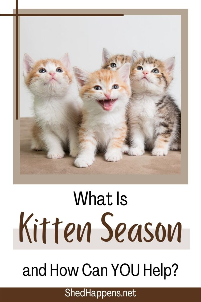 A litter of 6 orange tabby kittens sitting on a beige surface. Text asks: What is kitten season and how can you help?