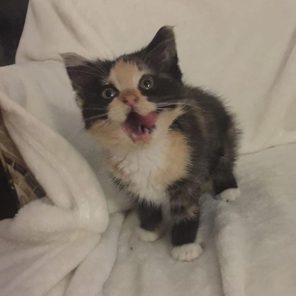hungry calico kitten