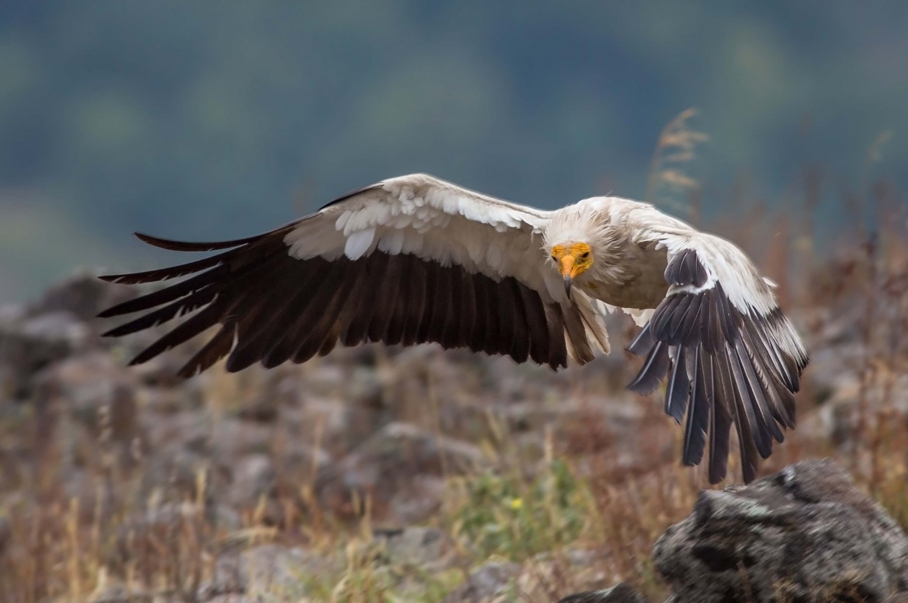 The Egyptian Vulture (Endangered) will also benefit from this new ruling © Ivostyle / Shutterstock