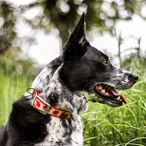 black and white dog in profile outside in tall grass wearing Kurgo Muck Dog Collar in red maple leaf pattern