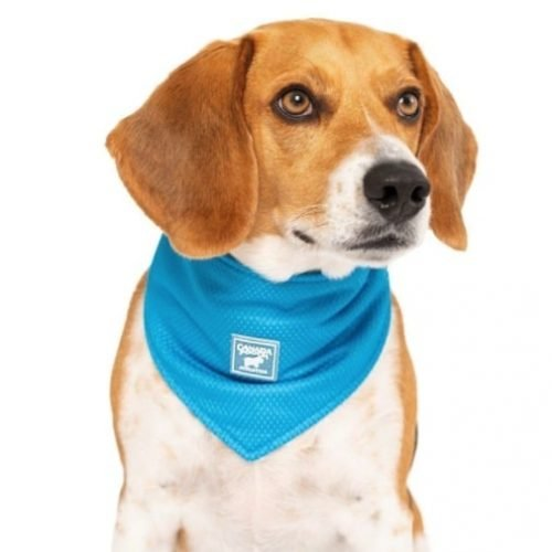Beagle wearing Canada Pooch Cooling Bandana