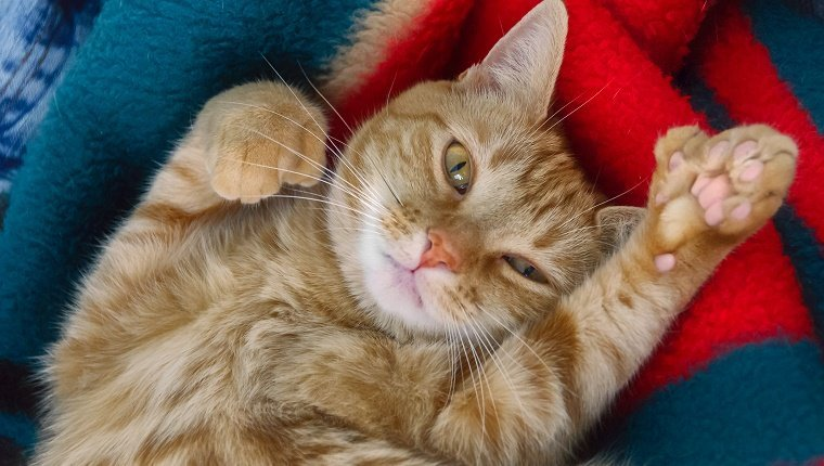 Adorable orange tabby polydactyl cat, belly up, looking at camera while showing paw with six toes. Also called Hemingway cats, some believe them to be a step forward in cat evolution as they sometimes use the extra toe as opposed finger.