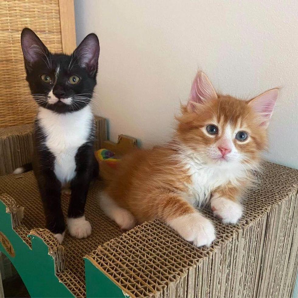 tuxedo and ginger kittens