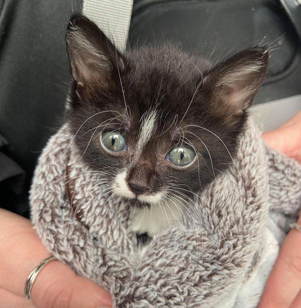 tuxedo kitten purrito