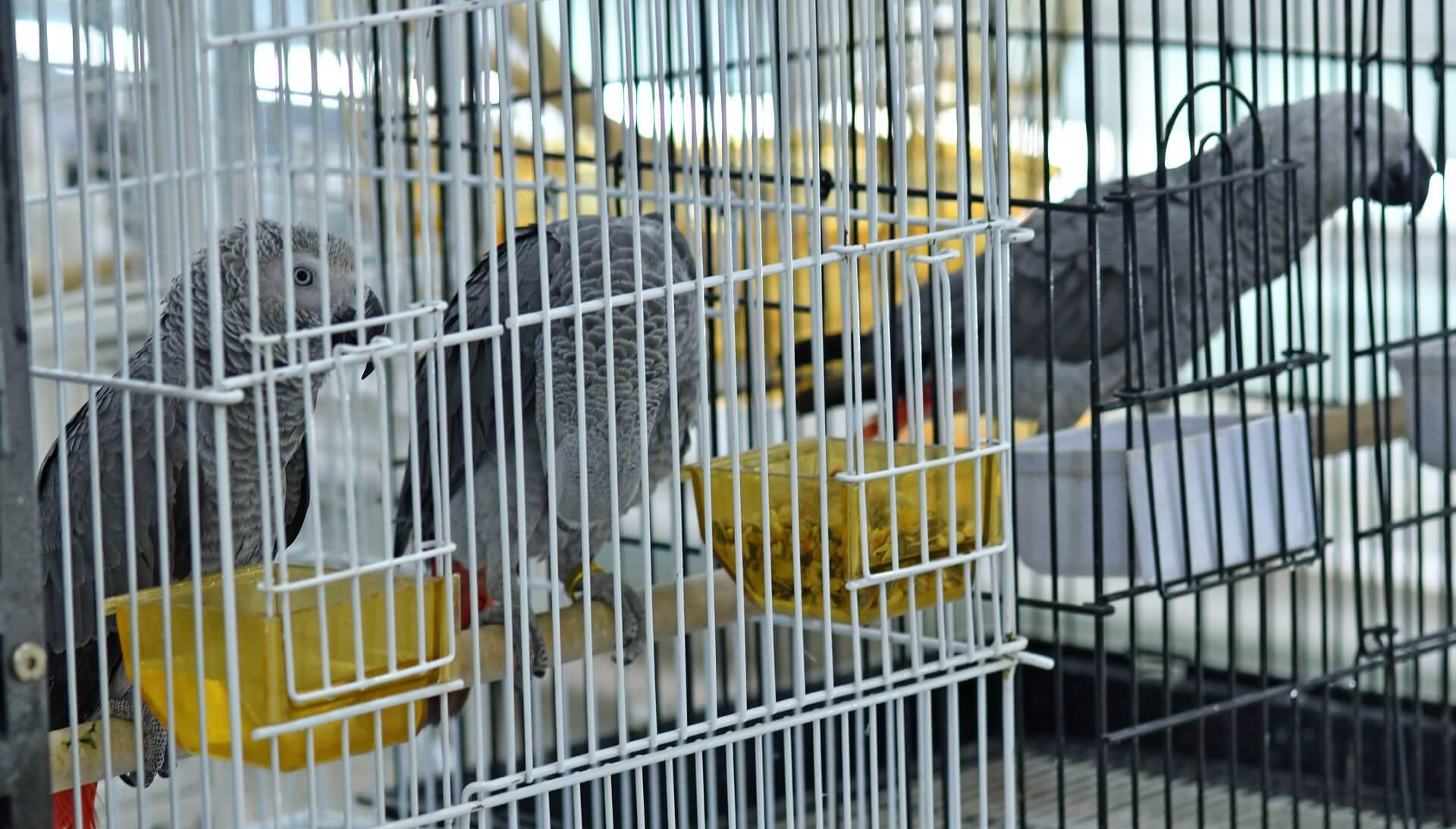 The Grey Parrot (Engandered) is a popular pet in India. Many are caught from the wild © Abrar Ahmed