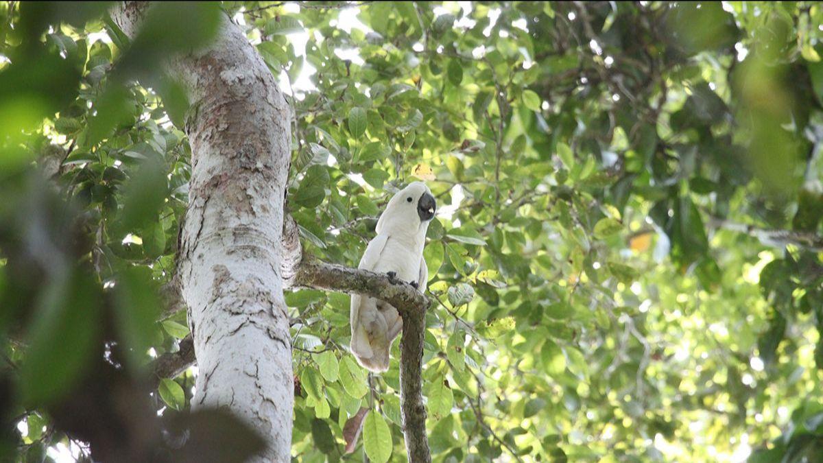 A White Cockatoo spotted in Halmahera, Indonesia © Hanom Bashari / Burung Indonesia