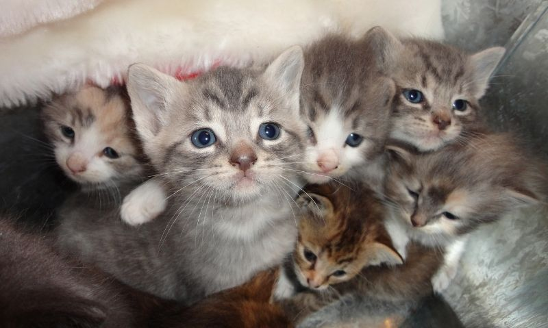 A litter of silver tabby kittens snuggled up together
