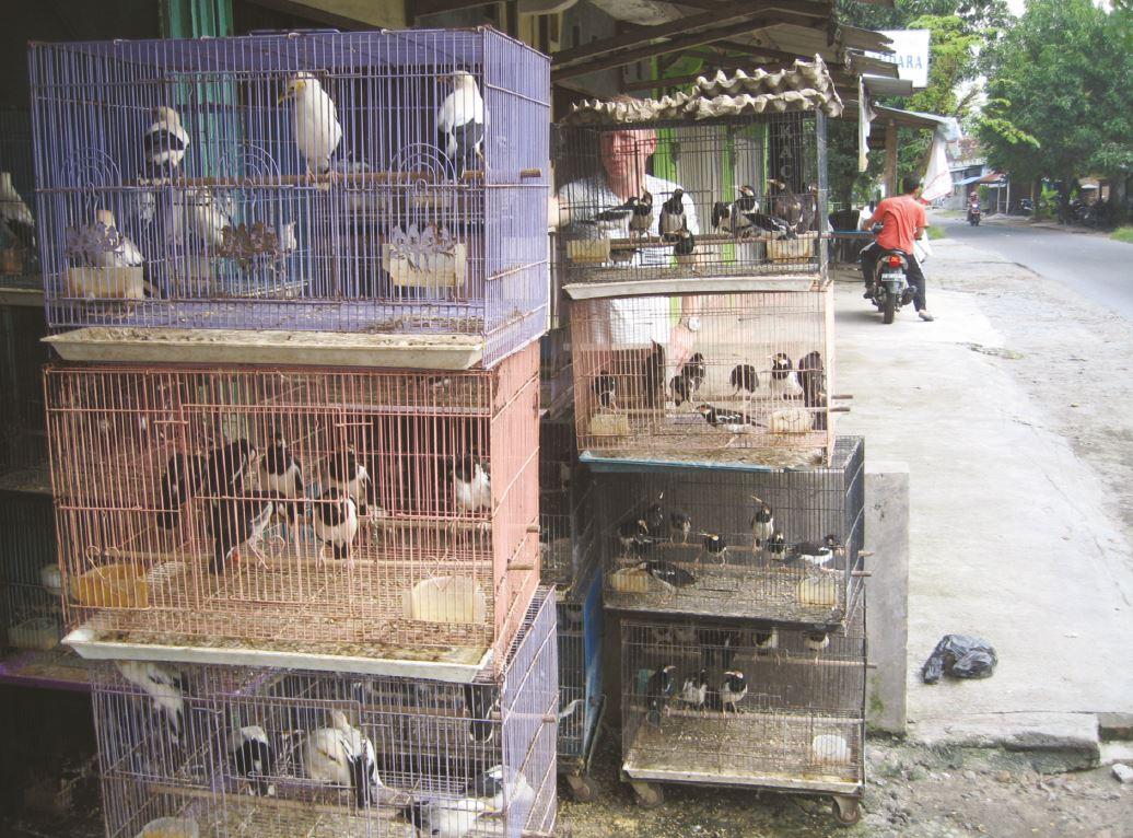 42 Javan Pied Starlings (plus others) for sale in  Marangan village, Indonesia, 2017  © Nigel Collar