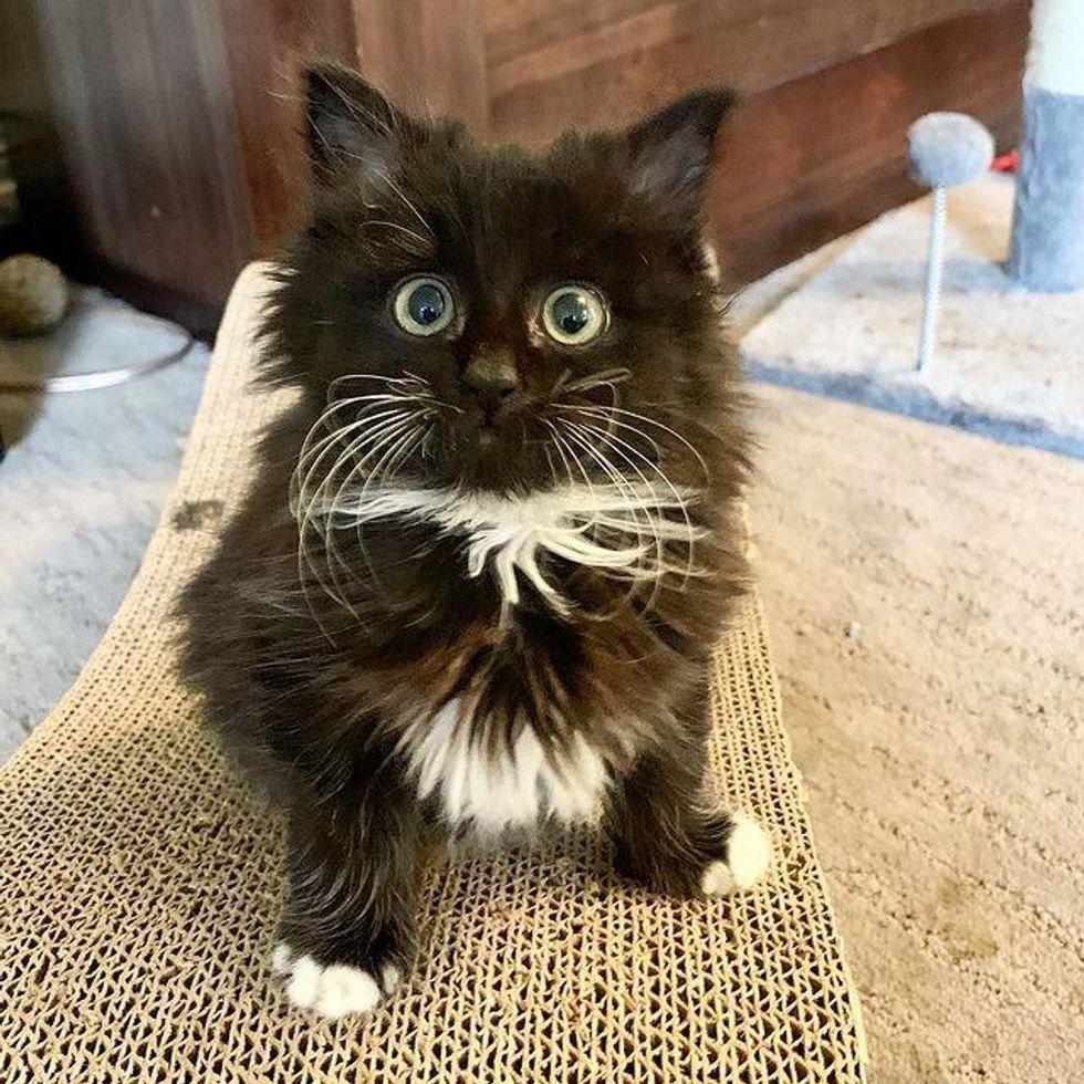 fluffy tuxedo kitten