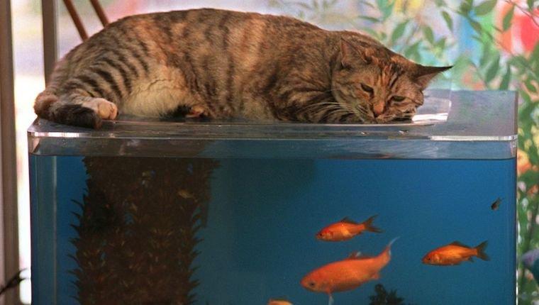 Cat on top of fish tank