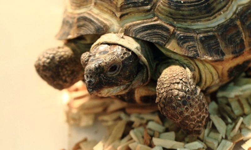 A pet turtle standing on a bed of wood chips