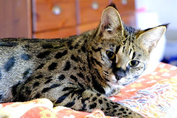 Savannah cat.