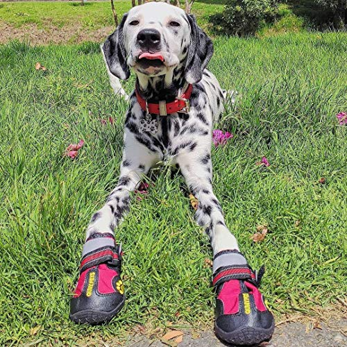 Dalmatian dog lying on the grass wearing red QUMY Waterproof dog boots on front paws