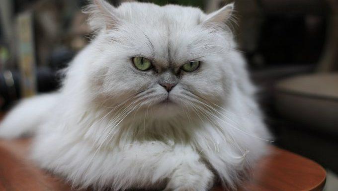 white cat lying on table